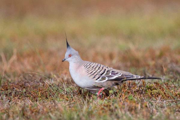 Spitzschopftaube (Ocyphaps lophotes) - Crested pigeon - 4