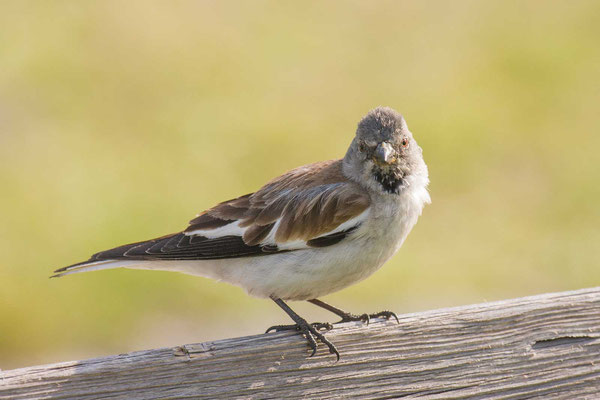 Schneefink (Montifringilla nivalis) - White-winged Snowfinch - 2