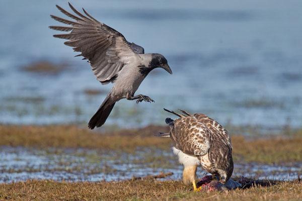 Nebelkrähe (Corvus corone) - 13