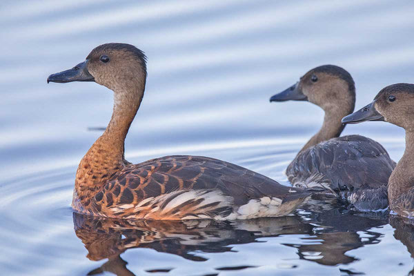 Wandering whistling duck - 4