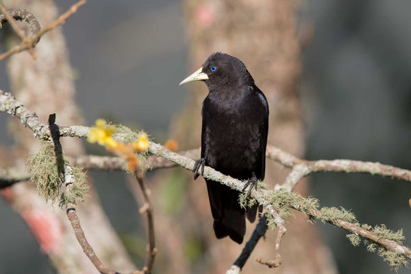 Rotbürzelkassike (Cacicus haemorrhous) - Red-rumped Cacique - 9