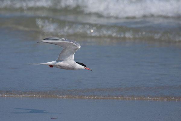 Fluss-Seeschwalbe (Sterna hirundo) - 1