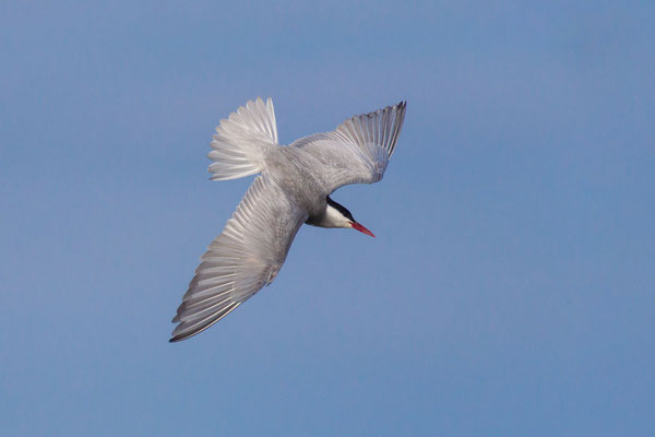 Weißbart-Seeschwalbe (Chlidonias hybrida) - 5