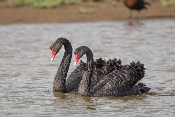 Trauerschwan (Cygnus atratus) - Black swan - 18