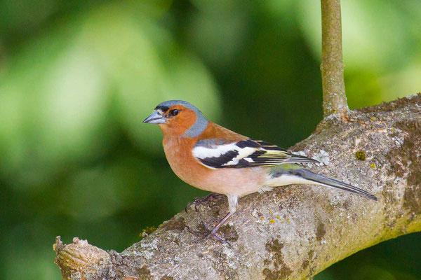Buchfink (Fringilla coelebs) - Common chaffinch - 2