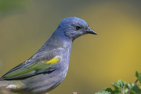 Schmucktangare (Thraupis ornata) - Golden-chevroned Tanager - 4