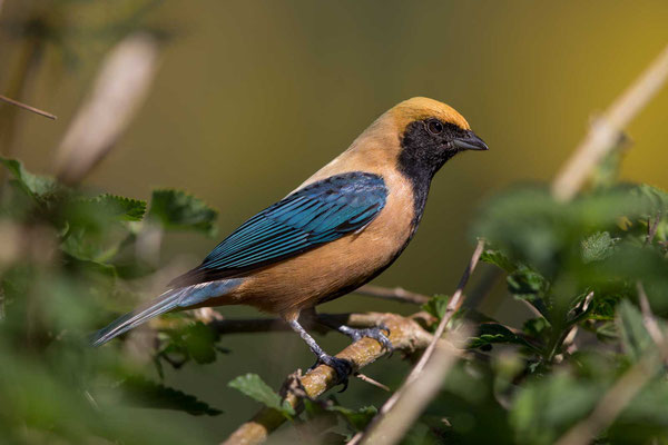 Isabelltangare (Tangara cayana) - Burnished-buff tanager - 2