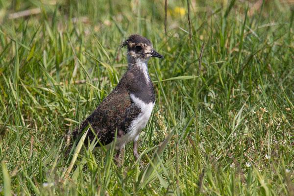 Kiebitz (Vanellus vanellus) - 6
