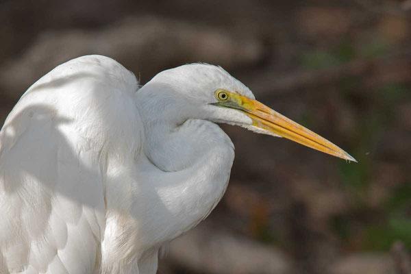 östlicher Silberreiher (Ardea modesta) - Eastern great egret - 4