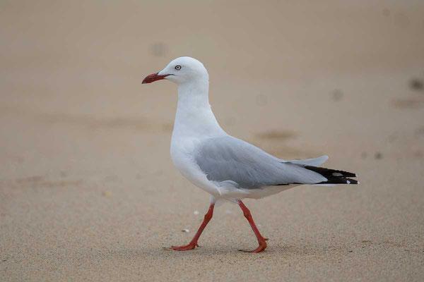 Silberkopfmöwe (Chroicocephalus novaehollandiae) - Silver gull - 5