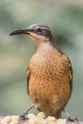 Weiblicher Viktoria-Paradiesvogel (Ptiloris victoriae) - 1