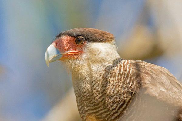 Schopfkarakara (Caracara plancus) - Southern crested caracara - 11
