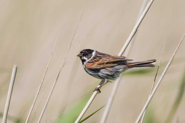 Rohrammer (Emberiza schoeniclus) - Reed Bunting - 2