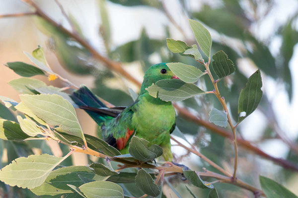 Rotflügelsittich, Red-winged parrot, Aprosmictus erythropterus - 3