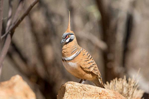 Rotschopftaube (Geophaps plumifera) - Spinifex pigeon - 1