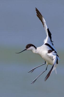 Säbelschnäbler (Recurvirostra avosetta) - 10