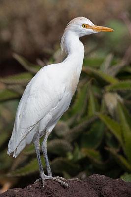 Kuhreiher (Bubulcus ibis) auf Fuerteventura