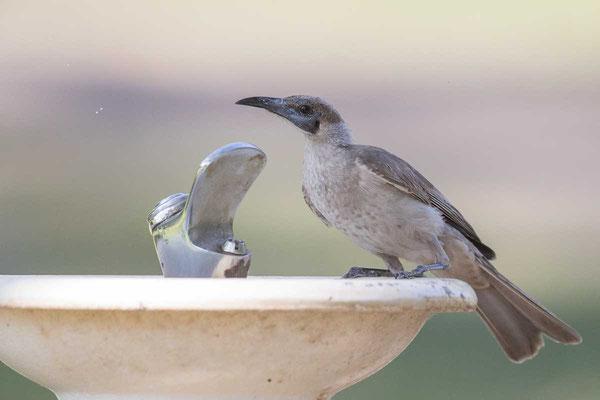 Glattstirn-Lederkopf, Little Friarbird, Philemon citreogularis - 4
