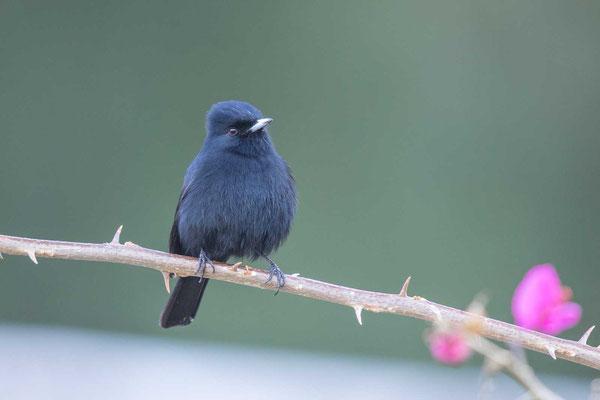 Kurzschopf-Dunkeltyrann (Knipolegus nigerrimus); Velvety Black-tyrant - 2
