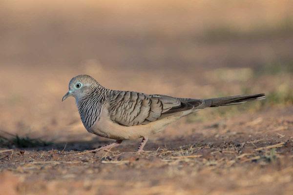 Friedenstäubchen (Geopelia placida) - Peaceful dove - 1