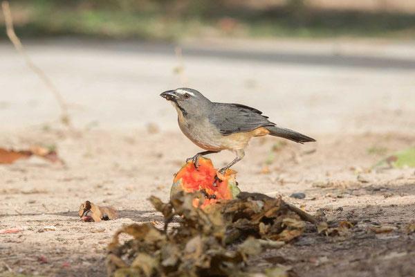 Grausaltator (Saltator coerulescens) - Greyish Saltator - 3