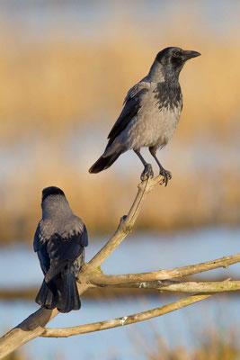 Nebelkrähe (Corvus corone) - 4