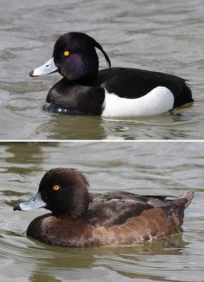 Reiherente,  Aythya fuligula, Tufted Duck - 16