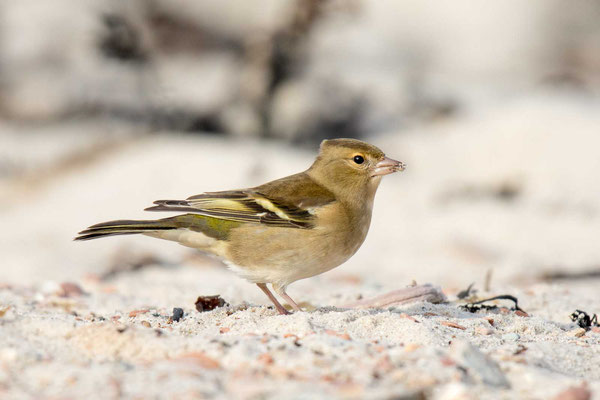 Buchfink (Fringilla coelebs) - Common chaffinch -6