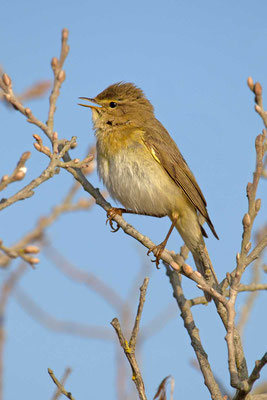 Fitis (Phylloscopus trochilus) - Willow Warbler - 3