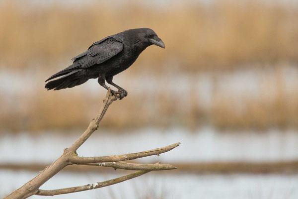 Kolkrabe (Corvus corax) - 3
