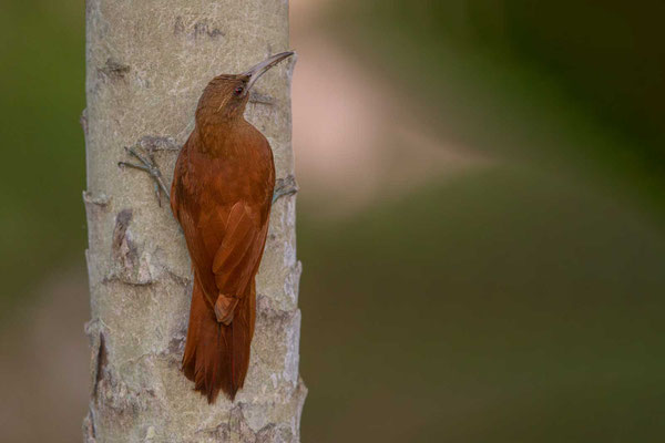 Fuchsroter Baumsteiger (Xiphocolaptes major) - Great Rufous Woodcreeper - 4