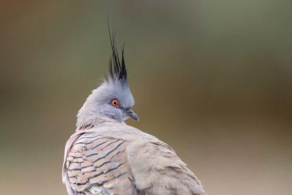 Spitzschopftaube (Ocyphaps lophotes) - Crested pigeon - 5