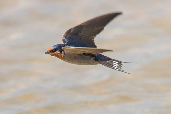 Glücksschwalbe,  Hirundo neoxena, Welcome Swallow - 2