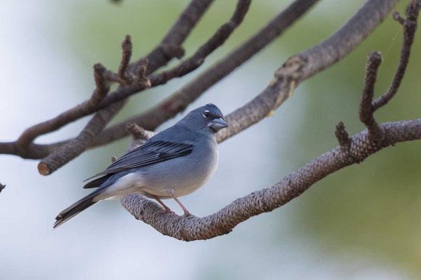 Teydefink (Fringilla teydea) - Blue Chaffinch - 4
