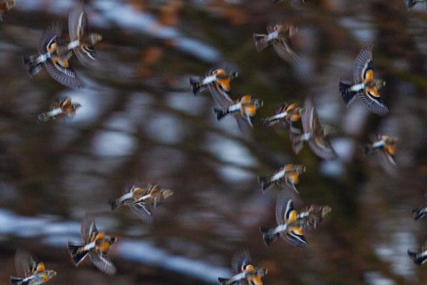 Bergfinken fallen am Schlaplatz ein bei Haiger ein im Winter 2015 - 4