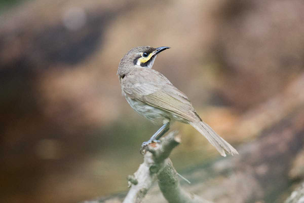 Dreistreifen-Honigfresser, Yellow-faced Honeyeater, Caligavis chrysops - 1