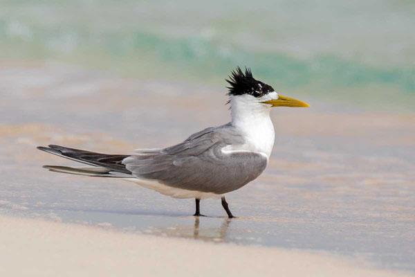 Eilseeschwalbe (Thalasseus bergii) - Greater crested tern - 8