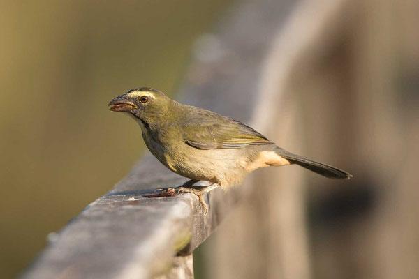 Grausaltator (Saltator coerulescens) - Greyish Saltator - 6