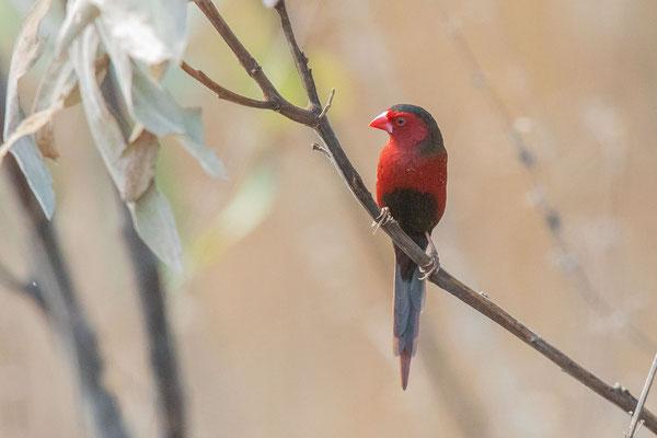 Männlicher Sonnenastrild (Neochmia phaeton) in der Fogg-Dam Conservation Area im Northern Territory von Australien.
