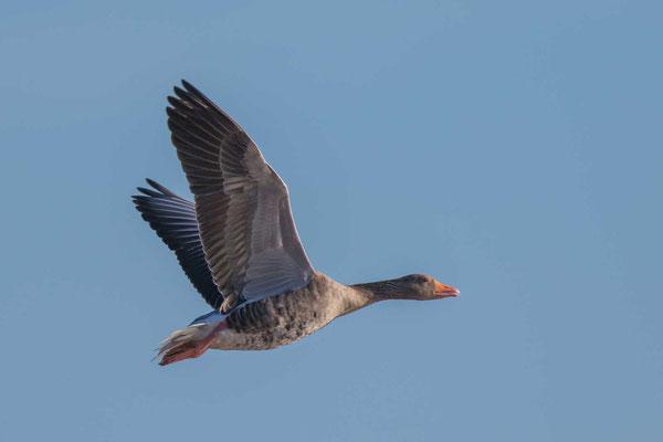 Graugans, Anser anser, Greylag goose - 15