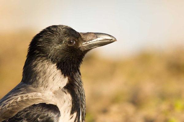 Nebelkrähe (Corvus corone) - 5