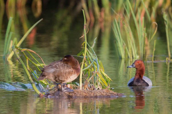 Tafelente, Common Pochard, Aythya ferina - 2