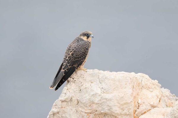 Eleonorenfalke (Falco eleonorae) - Eleonora's falcon - 3
