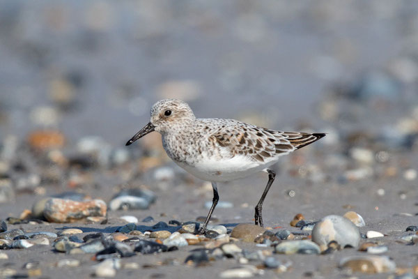 Sanderling (Calidris alba) - 2