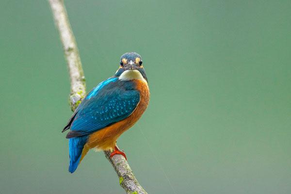 Eisvogel (Alcedo atthis) - 5