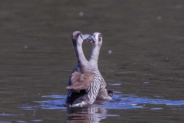 Rosenohrente (Malacorhynchus membranaceus) - Pink-eared duck - 5