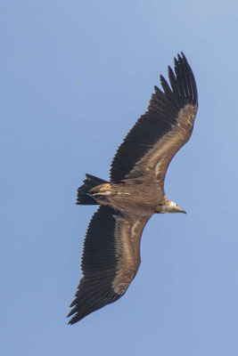 Gänsegeier (Gyps fulvus) - Griffon Vulture - 4