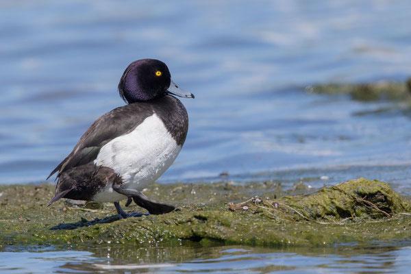 Reiherente,  Aythya fuligula, Tufted Duck - 5