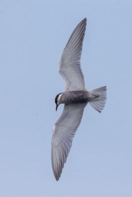 Weißbart-Seeschwalbe (Chlidonias hybrida) - 6