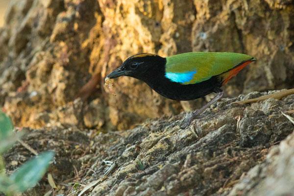 Regenbogenpitta, Rainbow pitta, Pitta iris - 1